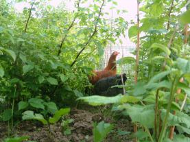 Weeding and eating pests (before fruit set!)