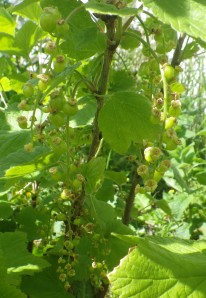 Looking forward to our first red currants this year