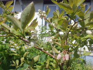 Blueberry flowering well in 2013