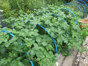 Abundant potato growth