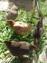 Chickens find freshly-cut docks highly entertaining.