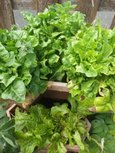 Multistorey lettuce