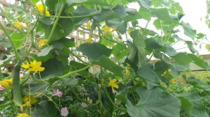 Cucumbers in the polytunnel