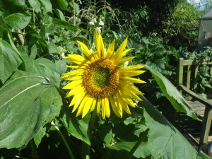 Sunflower on a sunny day last week