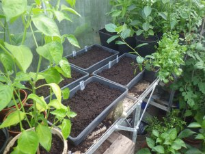 Newly planted seeds surrounded by abundant capsicums