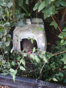Esme emerging from the 'woodland' laying box