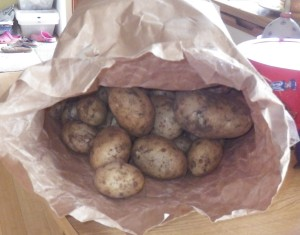 Potato variety Valor... blight-free and delicious