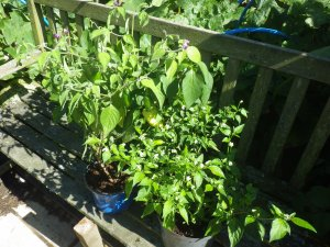 Profuse peppers (and chillies)
