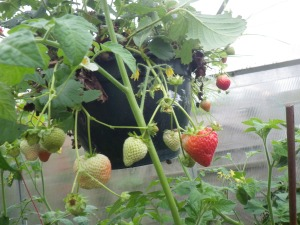 September strawberries in the greenhouse... I think we'll have Eton mess