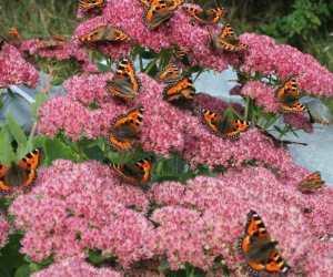 And abundance of small tortoiseshell butterflies (Mara Morris; Denmark Farm Conservation Centre)