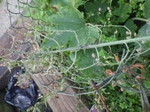 Skeletonised kale leaf