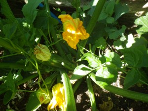 Prolific courgettes