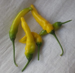 Ripe Lemon drop chillies