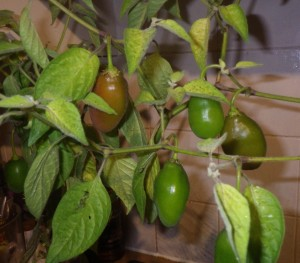 Fat, juicy Alberto's Locoto starting to ripen indoors