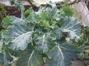 Broccoli - not sprouting yet, but the leaves are good