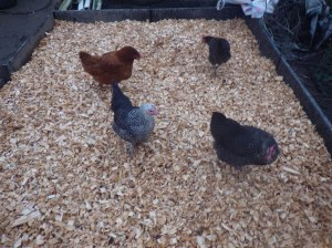 Happy hens with dry feet