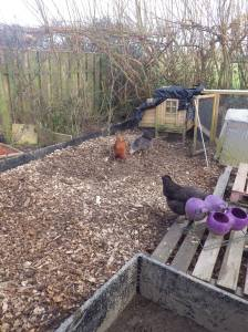 The start f a little jungle for the hens