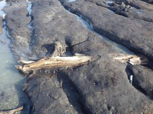 Branches and trunks lie where they fell, embedded in peat that is now eroding