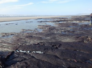 There is a vast stretch of peat on the beach