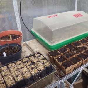 Beans in root trainers on the left and the propagator lid on for double insulation of the more sensitive seeds