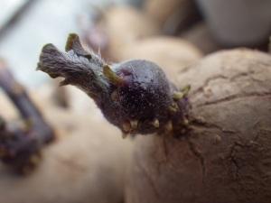 Sprouting potato tuber