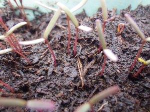 Seedlings of Aztec Broccoli