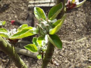 Ashmead's Kernel apple from Karuna