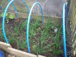 Shallots doing well