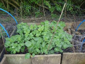 My earliest planting of potatoes