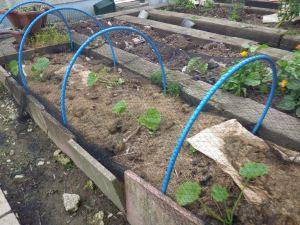 Courgettes and squashes