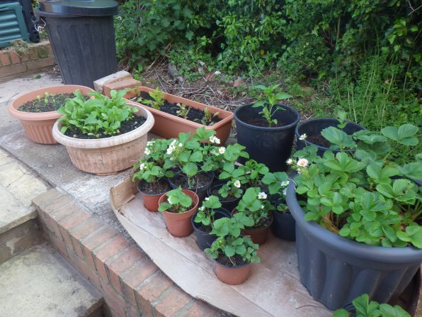 Strawberries, lettuce and rocket in pots