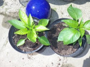 Pepper plants in the sun