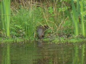 Otter emerging from the water