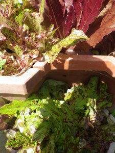 Lettuce in an old strawberry planter