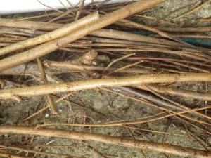 willow waste