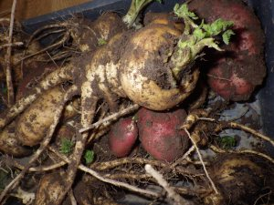 Parsnips (planned) and potatoes (unplanned)