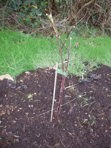 Tayberry newly planted