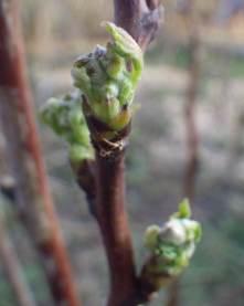 Raspberry buds