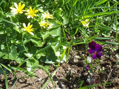The celandine is natural, the heart's-ease is planted