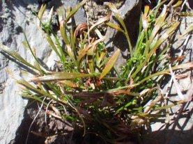 Forked spleenwort - a rare fern