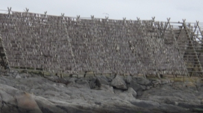 Drying fish on the Lofoten Islands