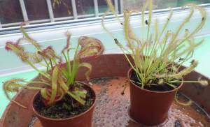 Drosera capensis - Cape sundew and Drosera capensis alba - white Cape sundew