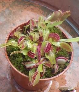 Dionaea muscipula - Venus flytrap
