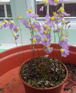 Utricularia bisquamata 'Betty's Bay'
