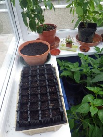 Parsnips sown in root trainers so that they won't be disturbed when transplanted
