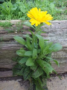 Growing like weeds... Calendula (petals look very pretty in salad) and Blood-veined sorrel (yum)