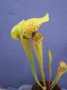 Sarracenia flava - Yellow pitcher plant
