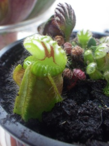 Cephalotus follicularis Albany carnivorous Pitcher Plant growing well