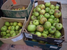 Apples being stored in the limery (Mr Snail returned with a couple more boxes yesterday)