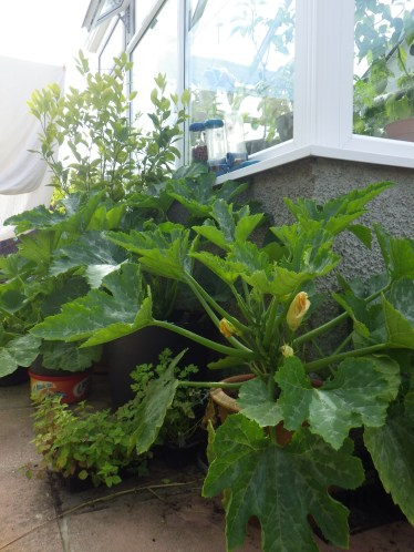 Courgettes outside in pots